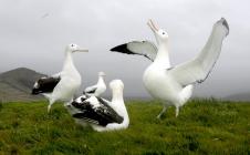 Grand albatros